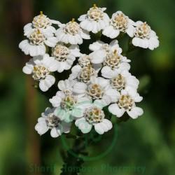 Millefolium Q MT